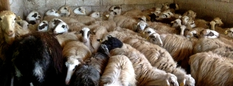 The sheep carpet