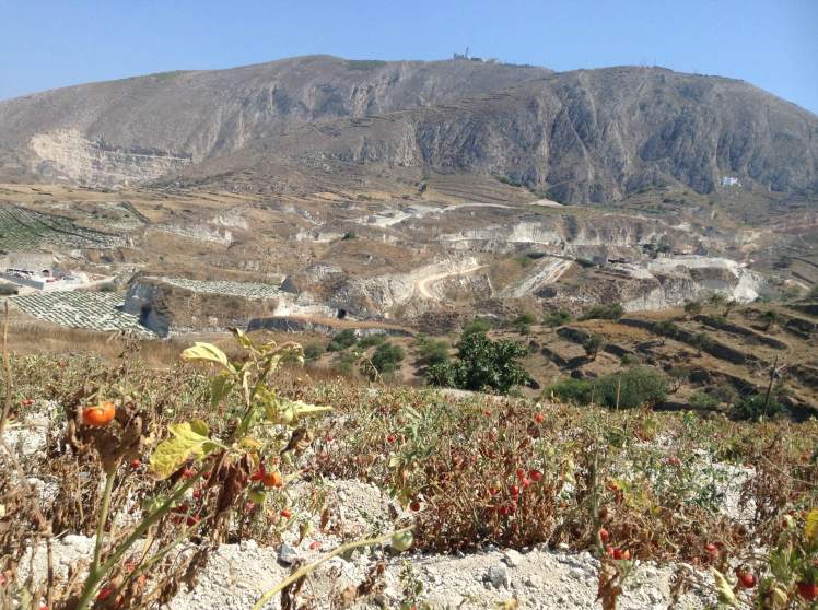 Santorini Tomatoes growing in the volcanic soil - they could be the most delicious tomatoes in the world...maybe!